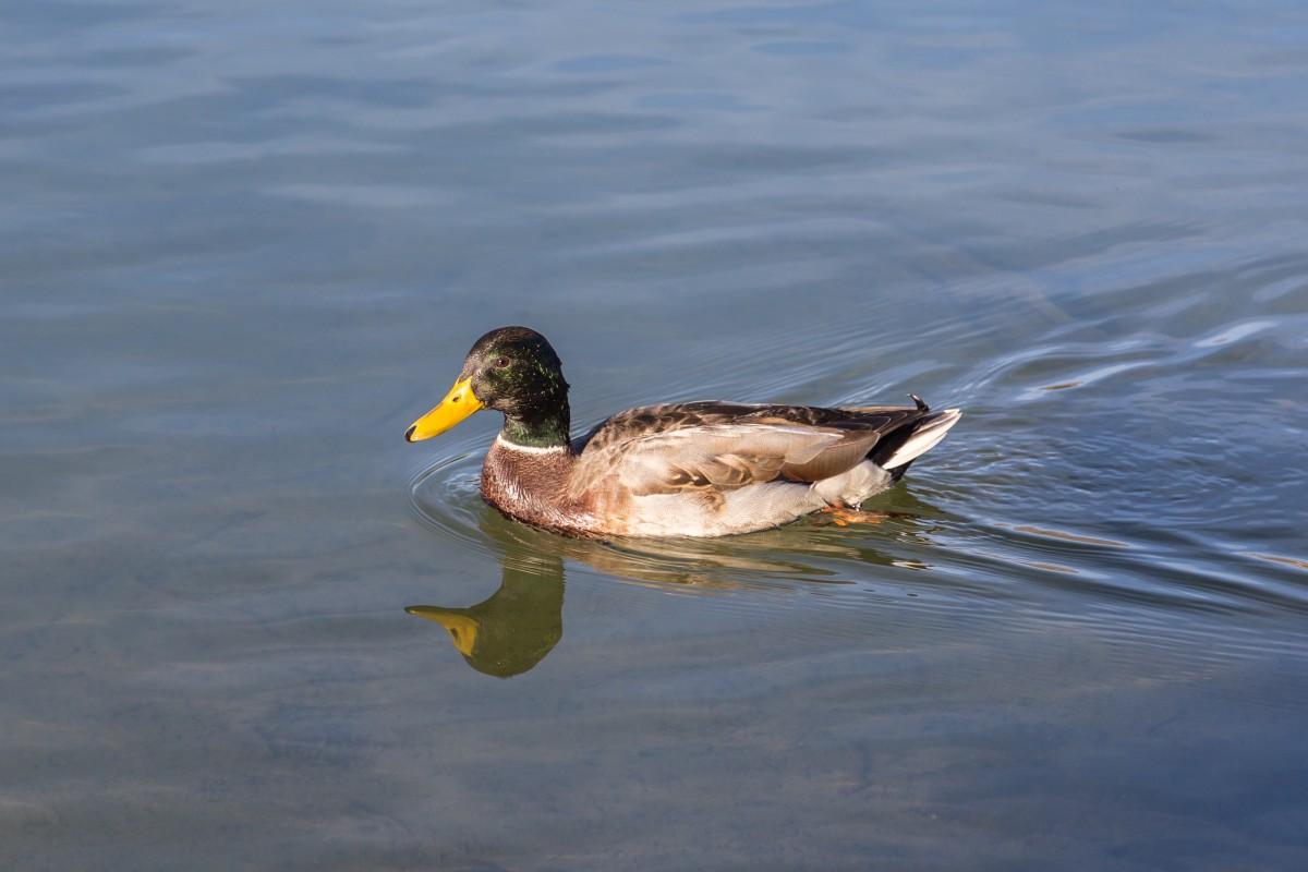 Ente auf dem Heidsee