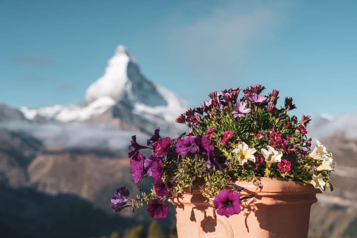 Blumen auf Sunnegga mit Matterhorn