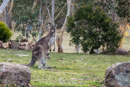 Känguru in Jindabyne, Australien