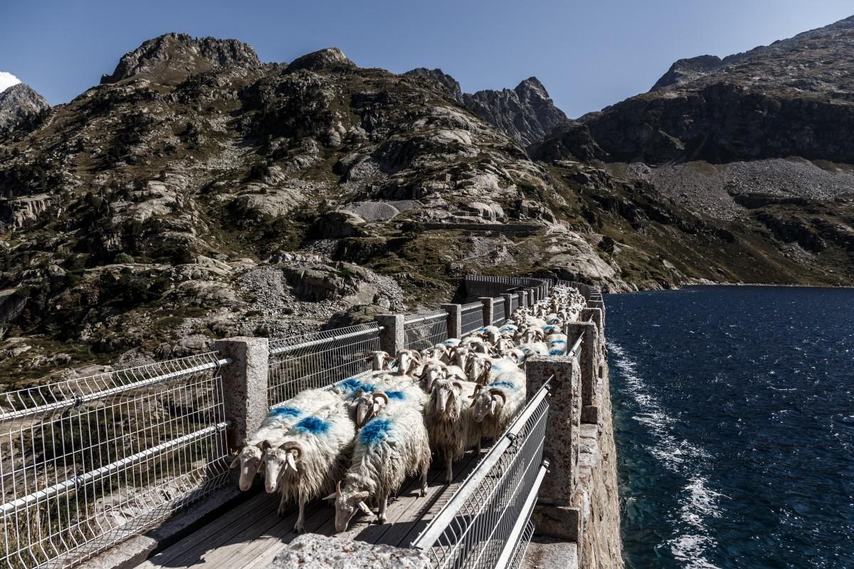 Schafsherde auf der Staumauer des Lac d'Artouste