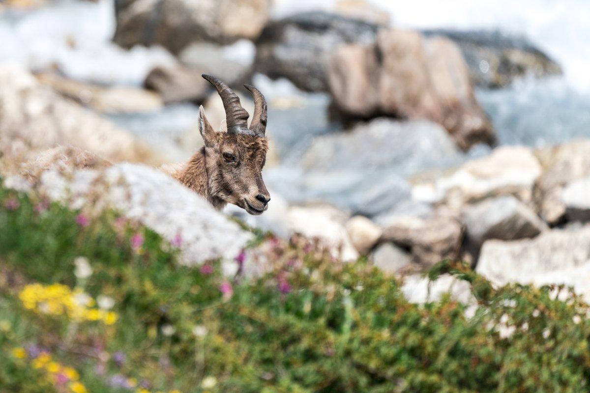 Steinböcke im Nationalpark Vanoise