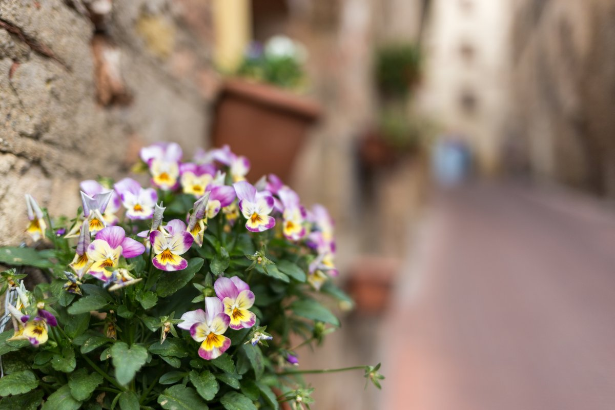 Blumen in San Gimignano in der Toskana