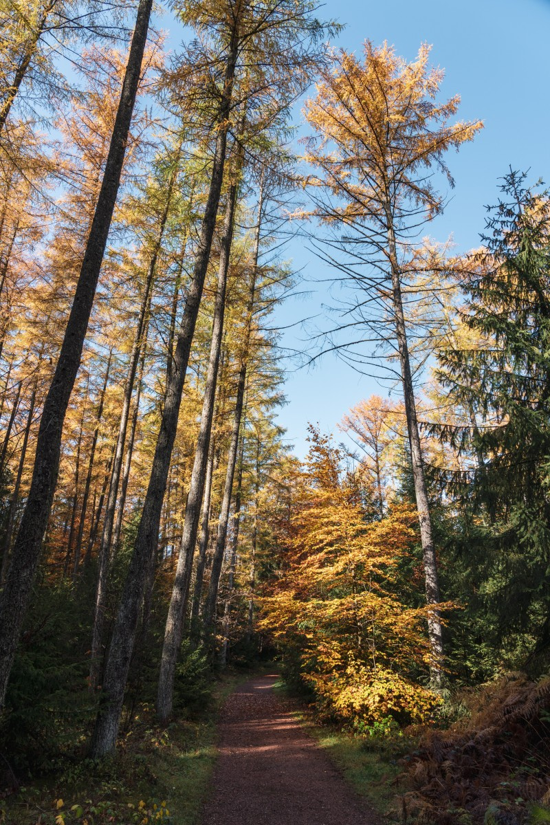 Lärchen im Hochwald