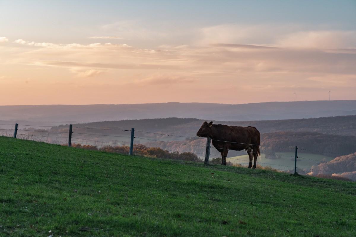 Kuh in Primstal