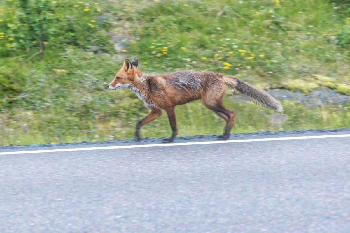 Fuchs auf den Lofoten