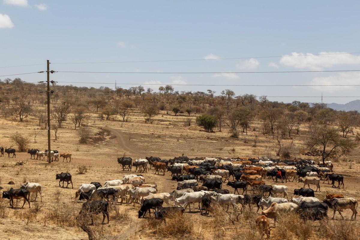 Viehherde der Massai