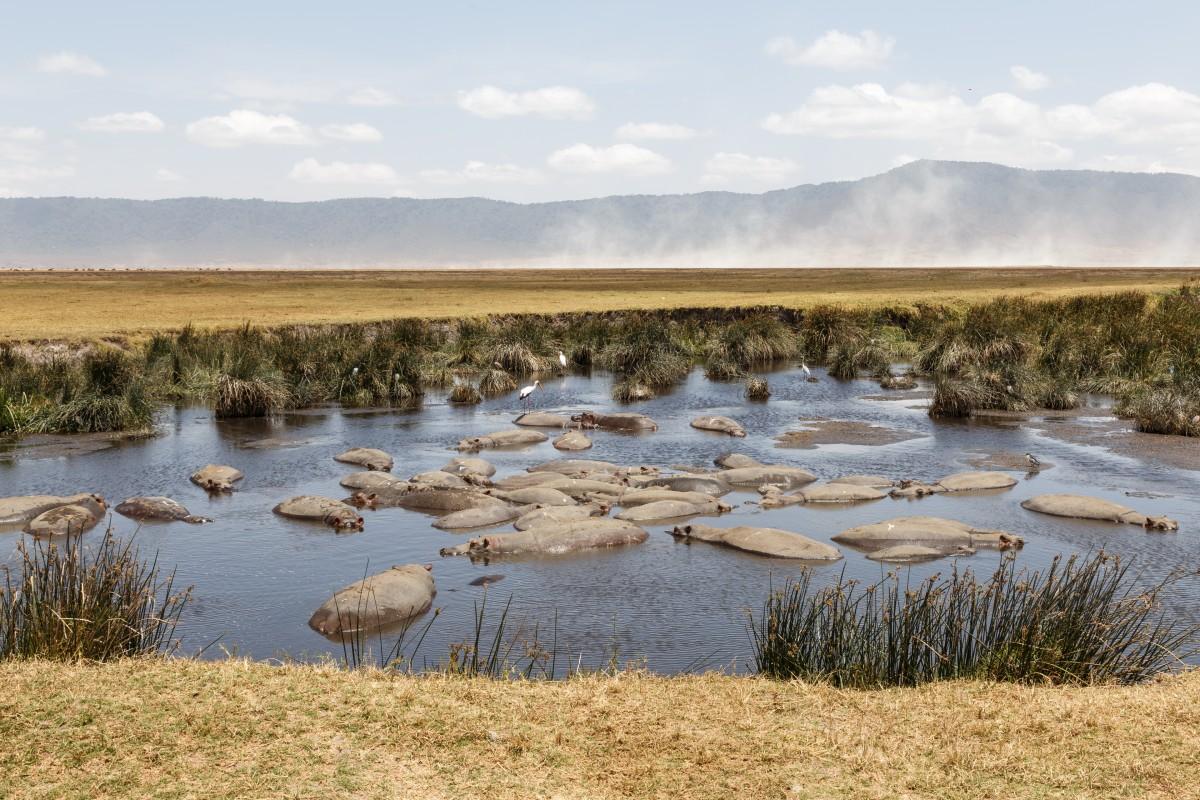 Nilpferde im Ngorongoro-Krater