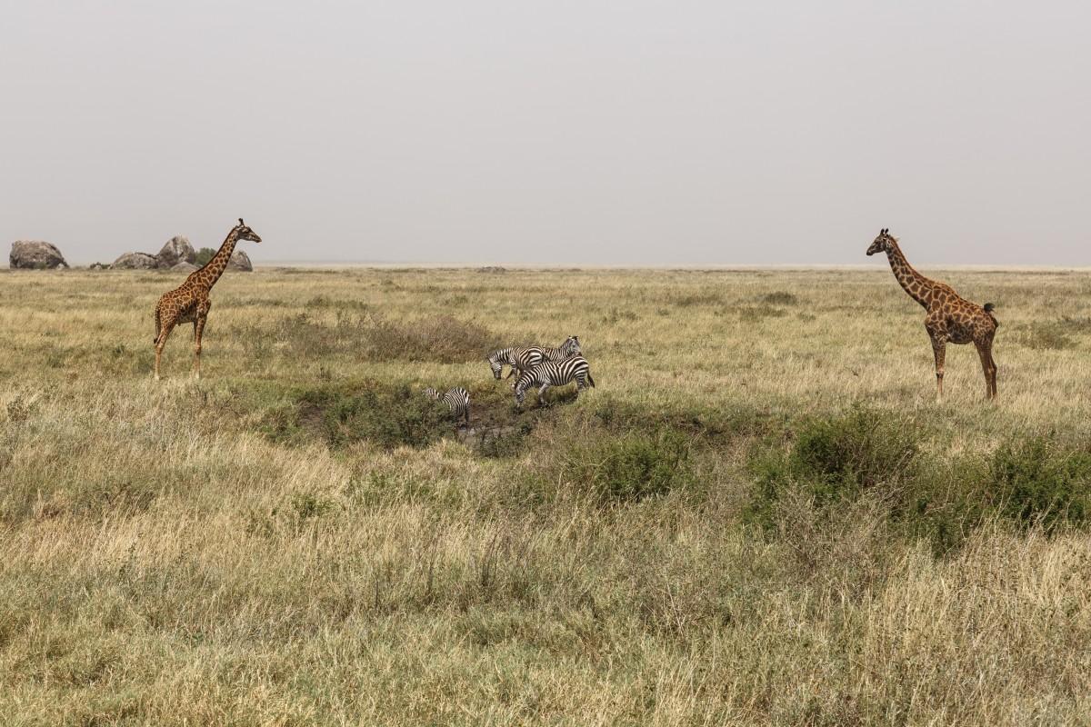 Giraffen und Zebras im Serengeti National Park
