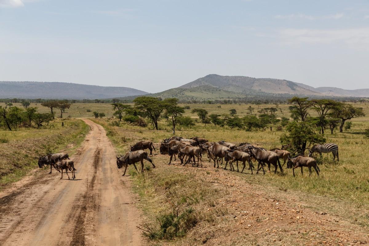 Büffel im Serengeti National Park