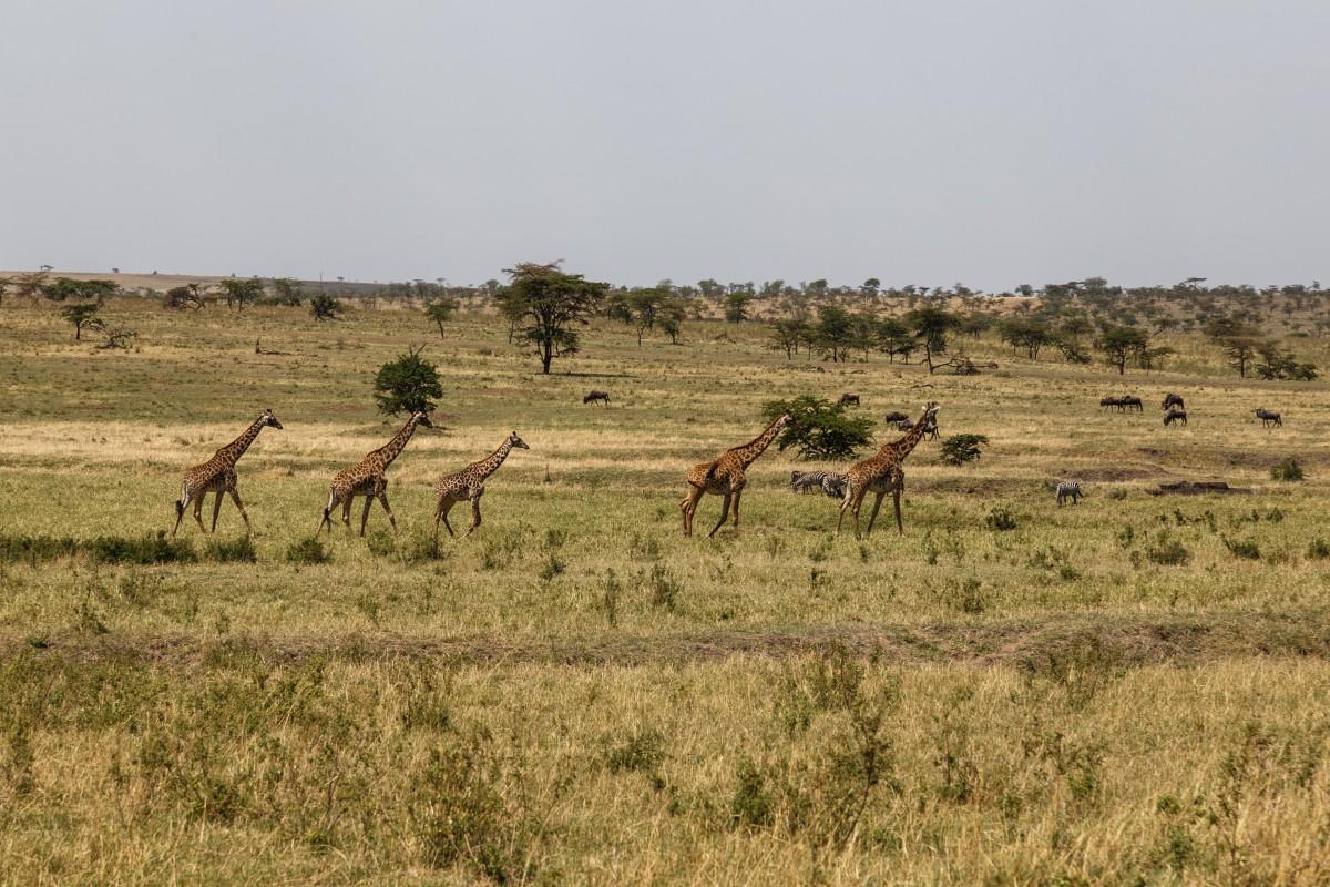 Giraffen im Serengeti National Park