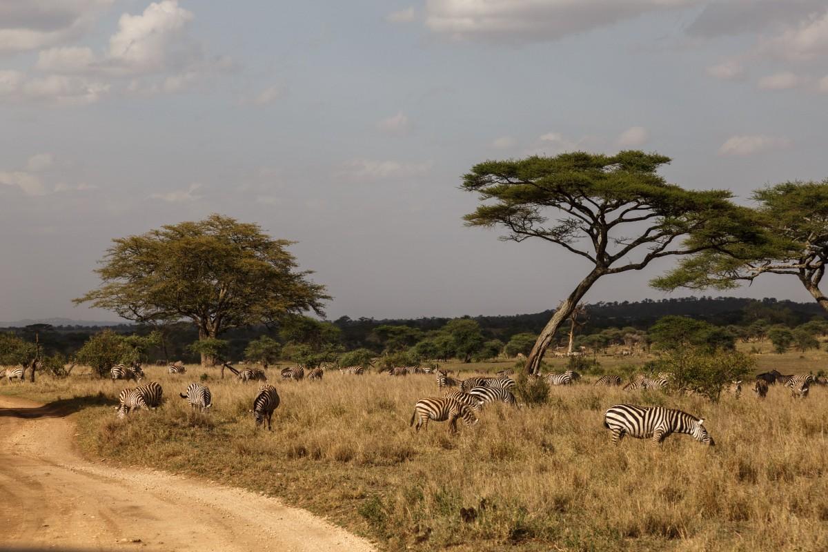 Zebras im Serengeti National Park