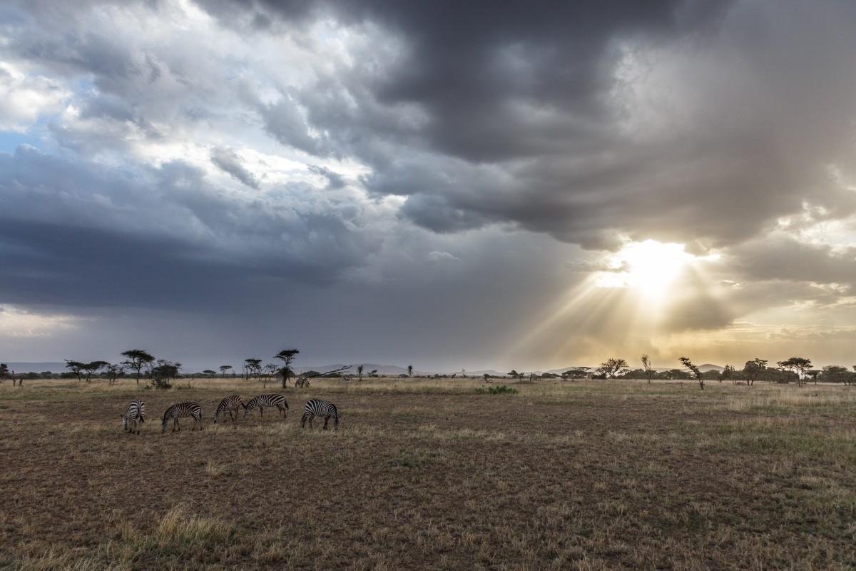 Zebras mit Sonnenuntergang über der Serengeti