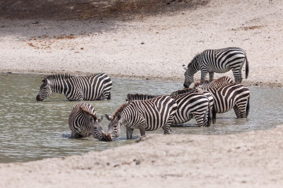 Zebras im Tarangire National Park
