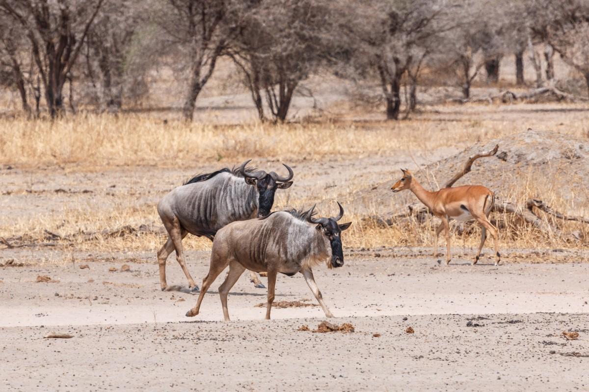 Gnus im Tarangire National Park