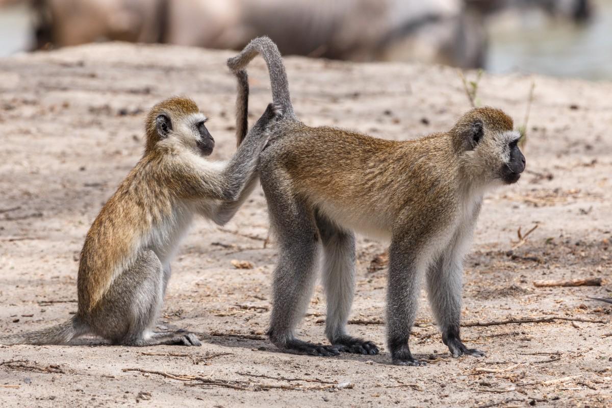 Affen im Tarangire National Park