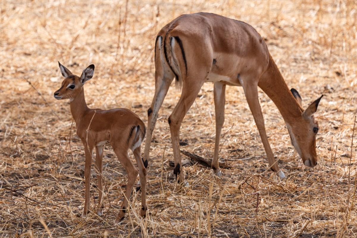 Impalas im Tarangire National Park