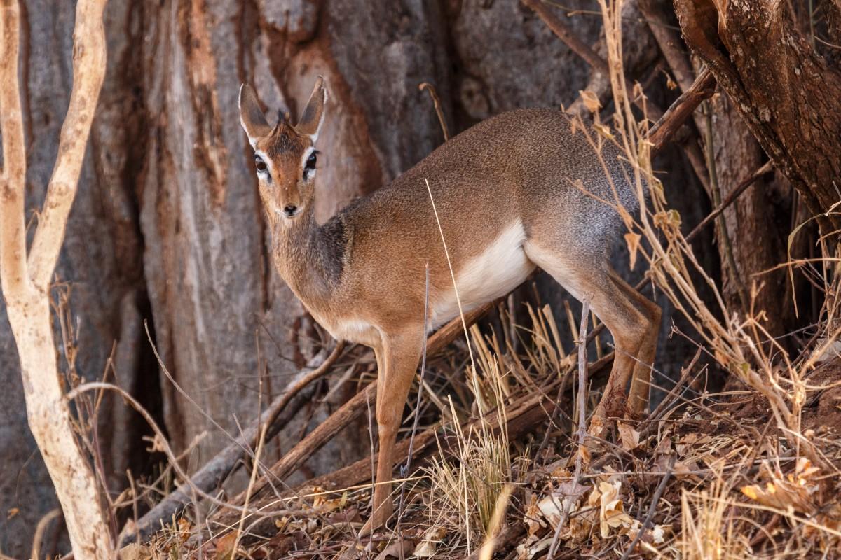 Kirk-Dikdik im Tarangire National Park