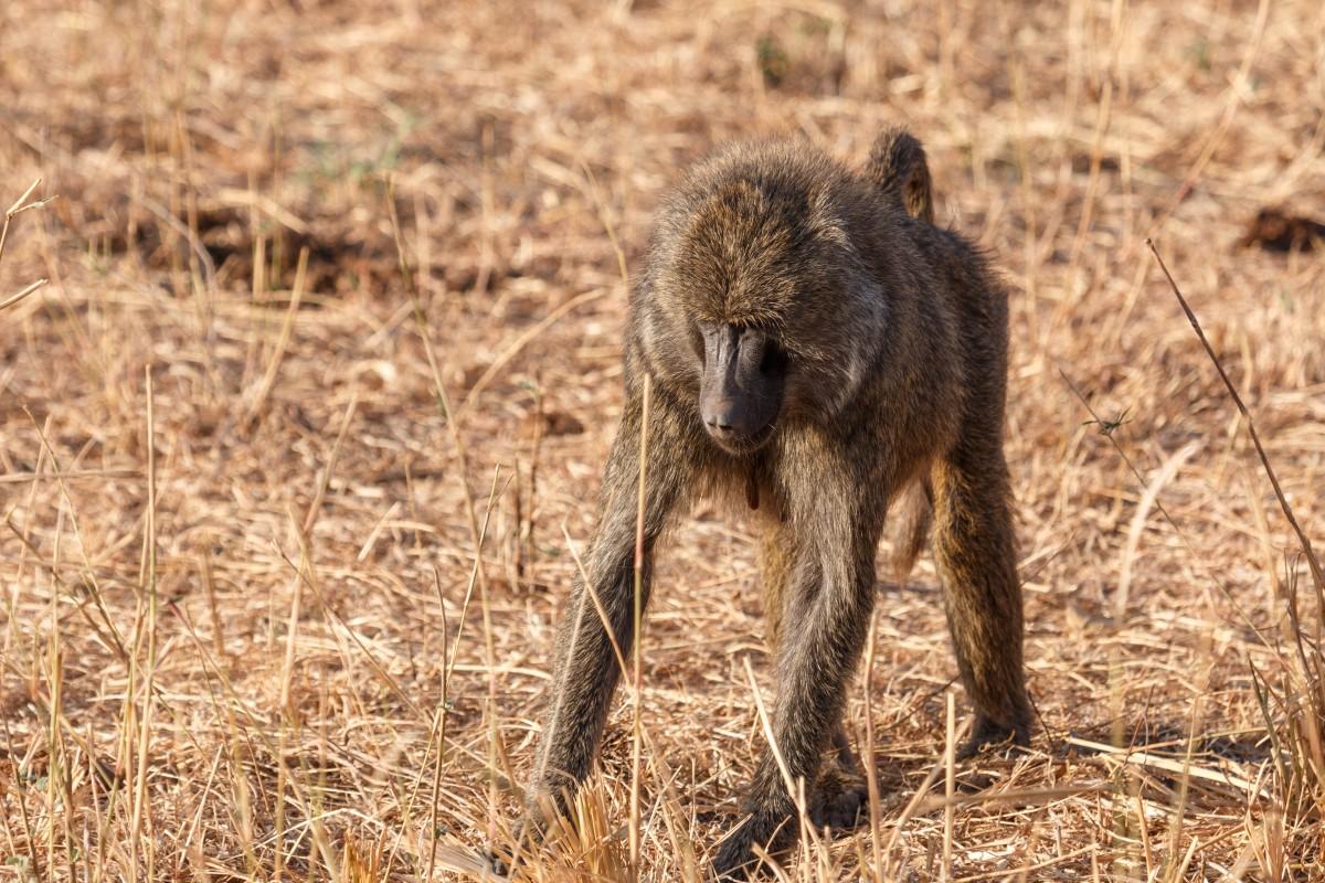 Anubispaviane im Tarangire National Park