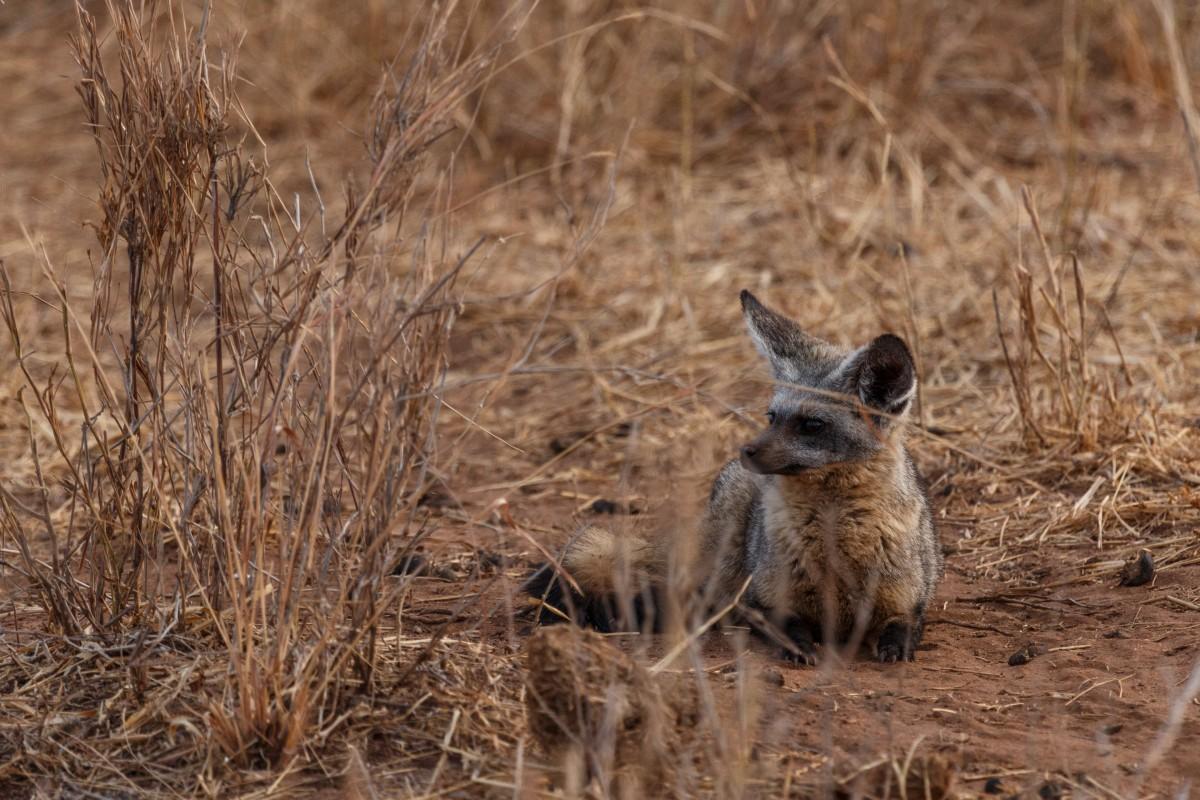 Afrikanischer Wildhund im Tarangire National Park