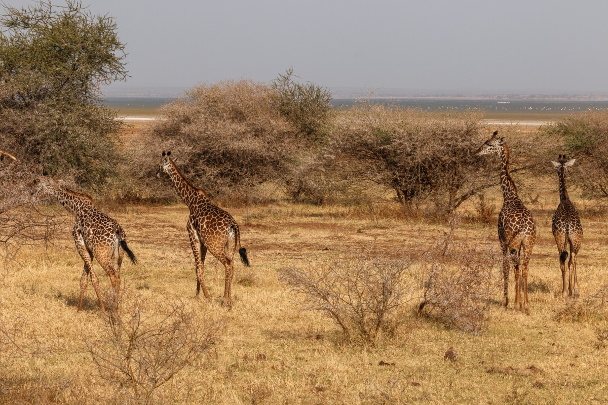 Giraffen im Lake Manyara National Park