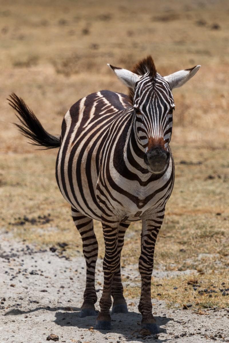 Zebra im Ngorongoro-Krater