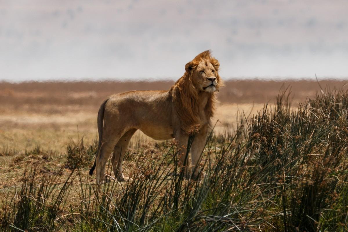 Löwe im Ngorongoro-Krater