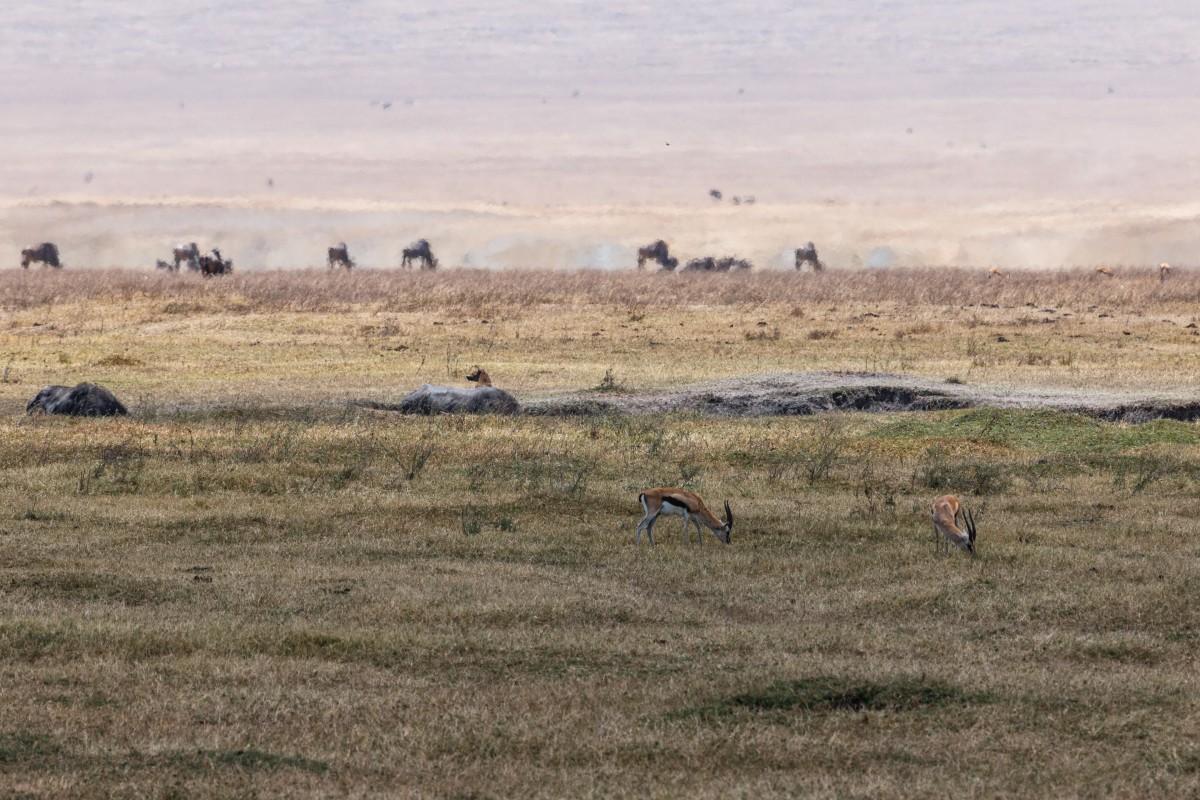 Hyäne wartet auf Gazellen im Ngorongoro-Krater