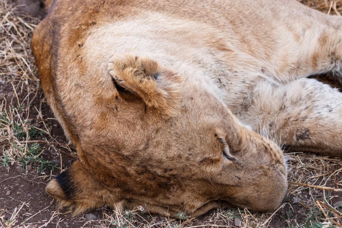 Schlafende Löwin im Ngorongoro-Krater
