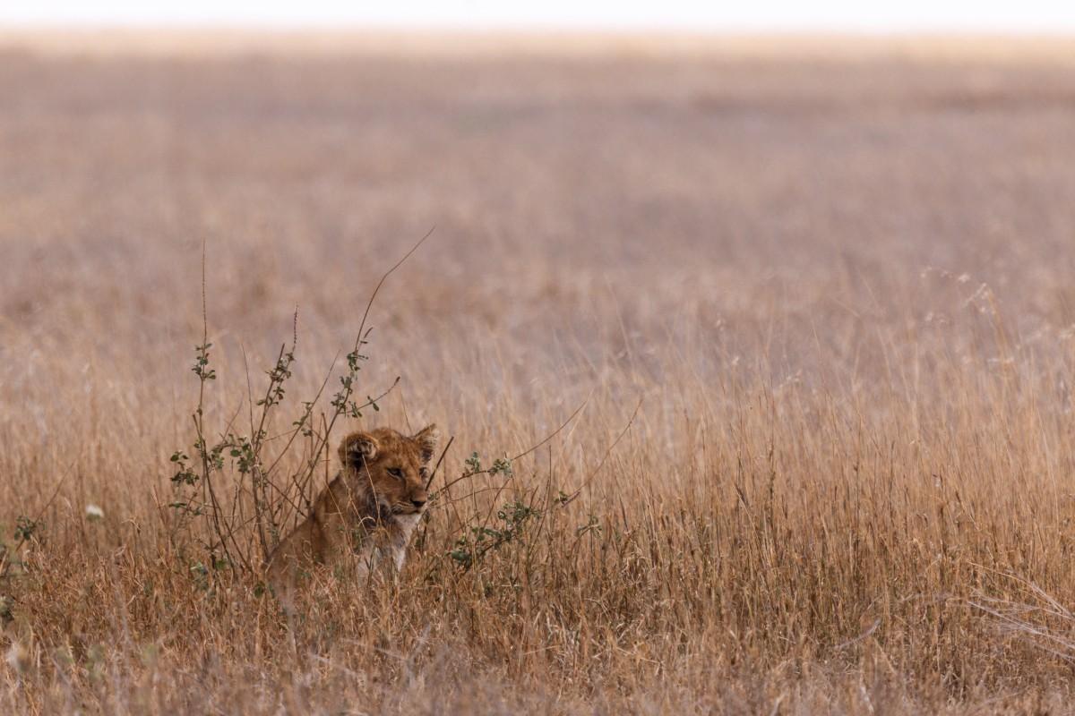 Spielende Löwen im Serengeti National Park