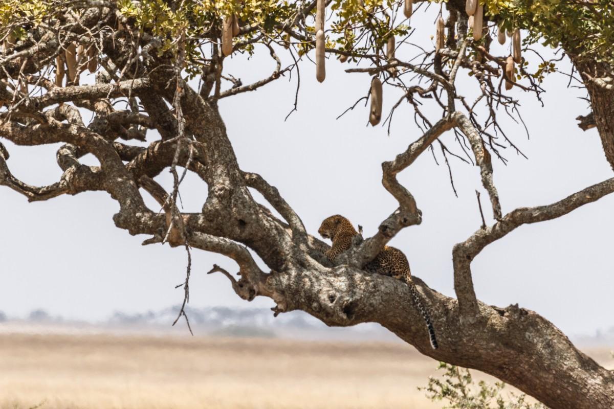 Leopard auf Leberwurstbaum im Serengeti National Park