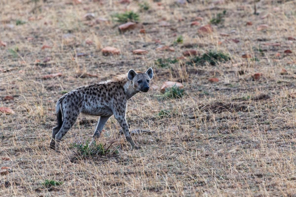 Hyäne im Serengeti National Park
