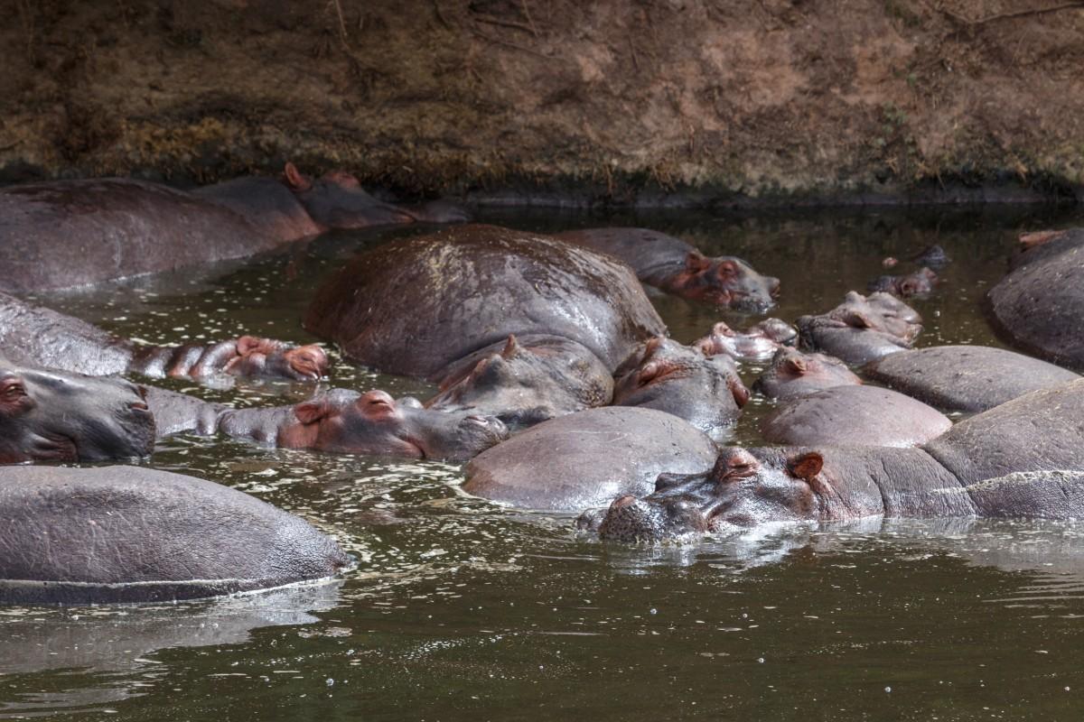 Nilpferde im Serengeti National Park