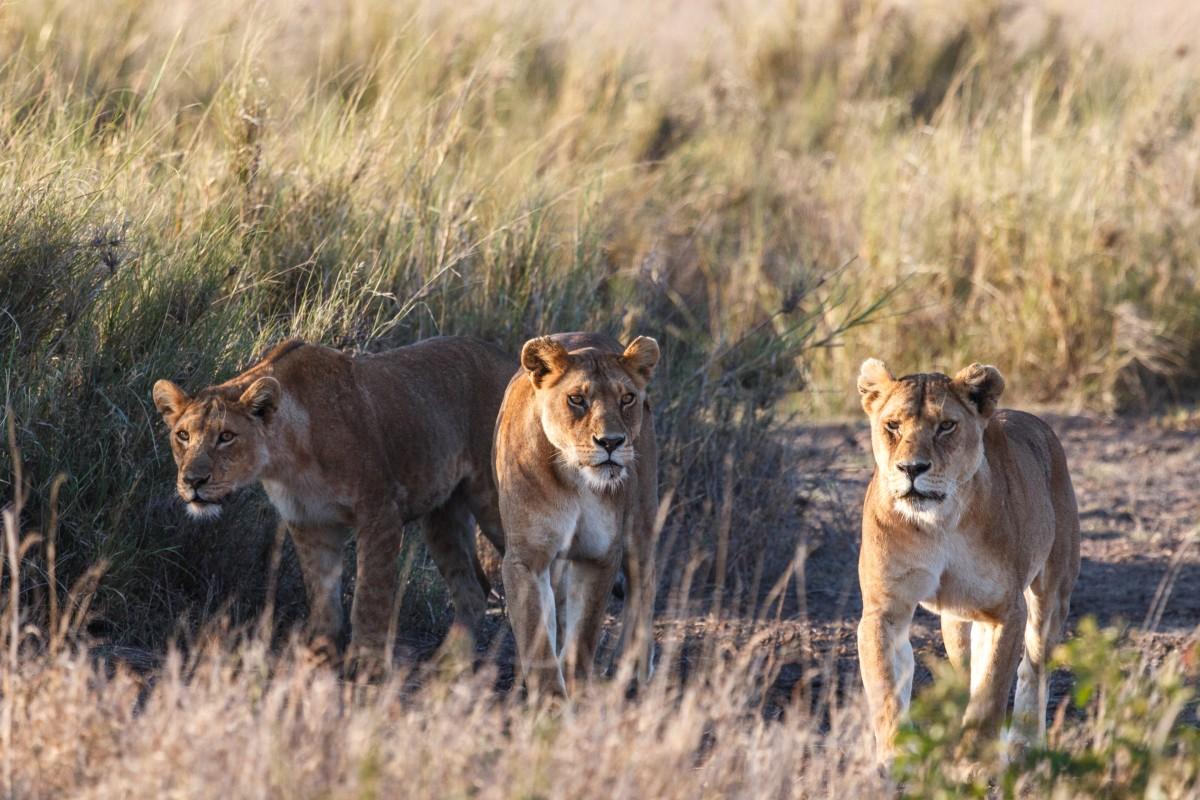 Junge Löwen in der Serengeti in Tansania