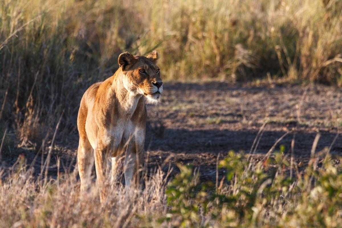 Löwen im Serengeti National Park