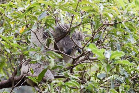 Schlafender Koala im Taronga Zoo in Sydney