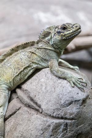 Gecko im Taronga Zoo in Sydney