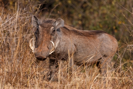 Warzenschwein im Tarangire National Park