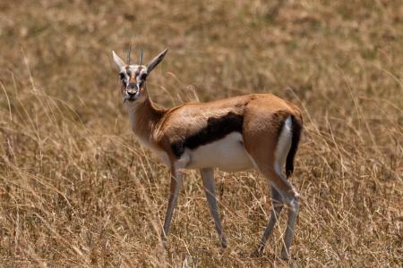 Gazellen im Ngorongoro-Krater