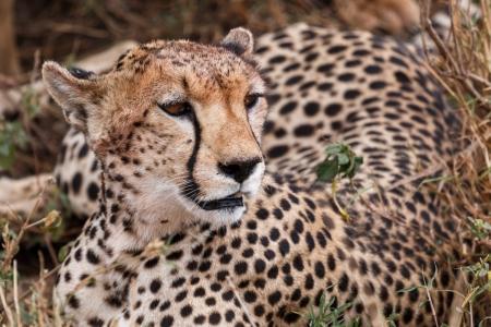 Geparden im Serengeti National Park