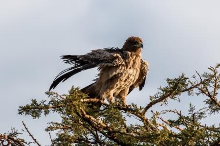 Adler im Serengeti National Park