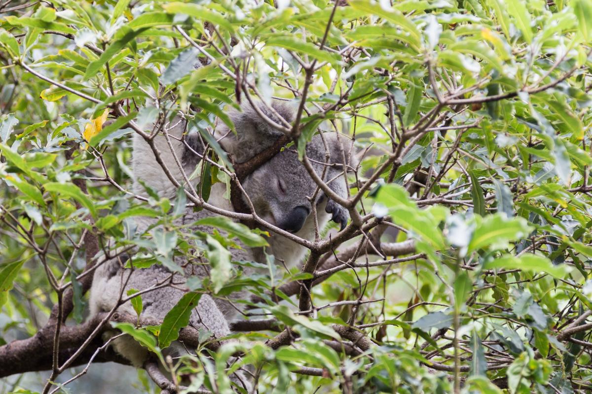 Schlafender Koala im Taronga Zoo