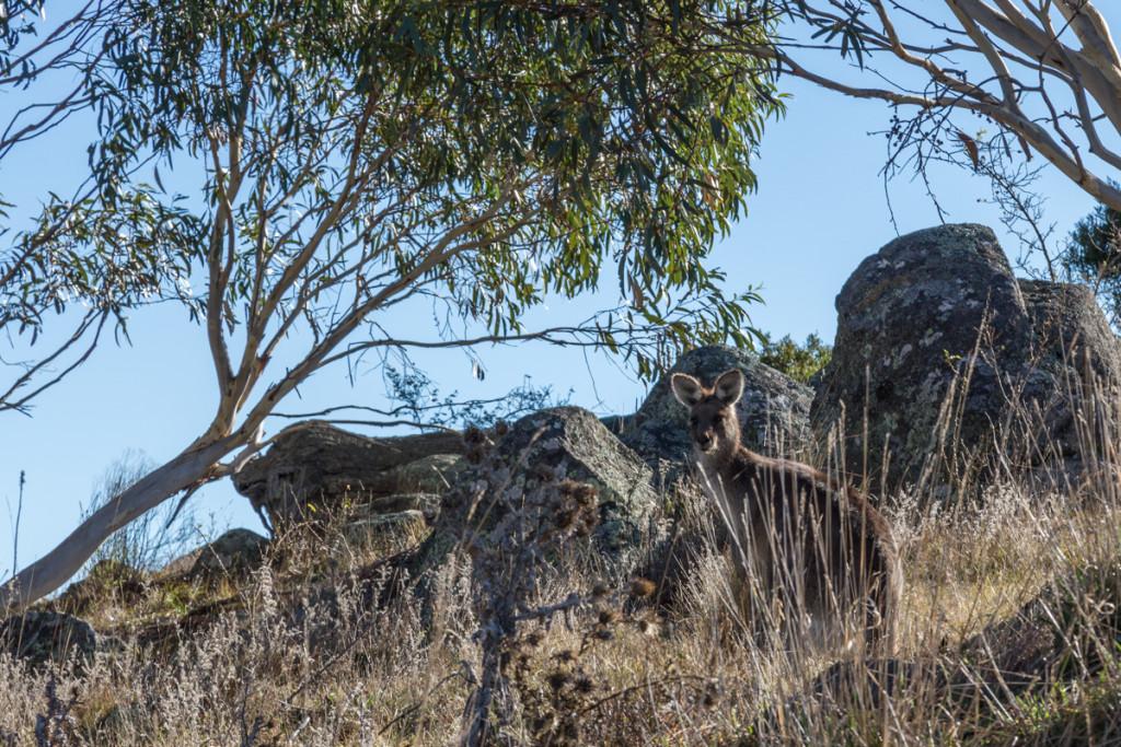 Känguru in Jindabyne