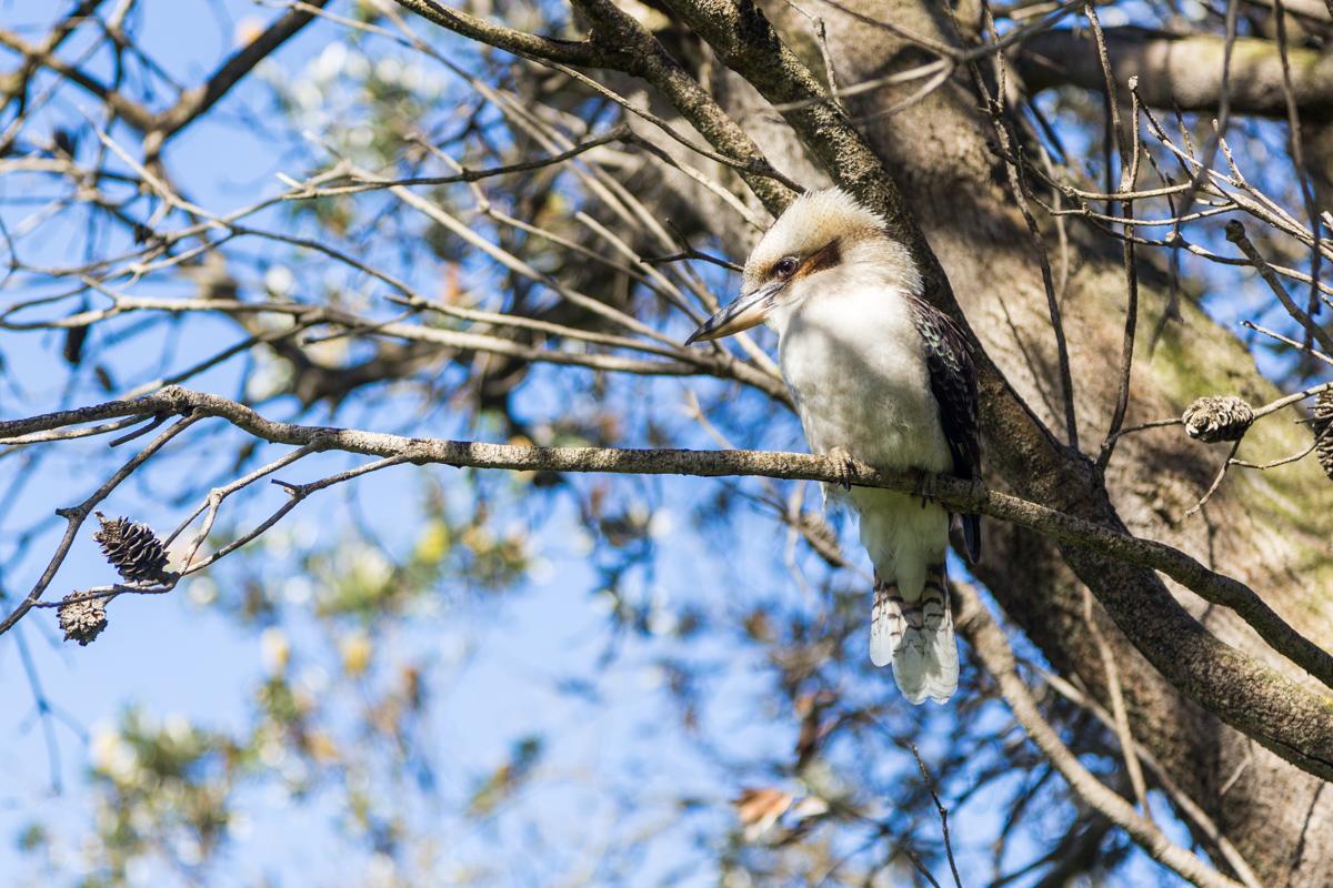 Eisvogel auf Phillip Island