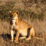 Safari-Höhepunkte rund um Seronera in der Serengeti